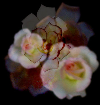 Cluster_of_roses