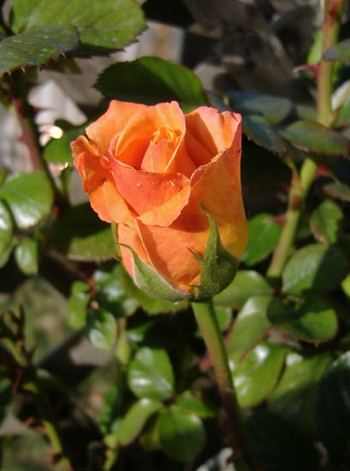 First_rose