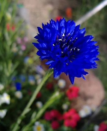 Wildflower_blue_1