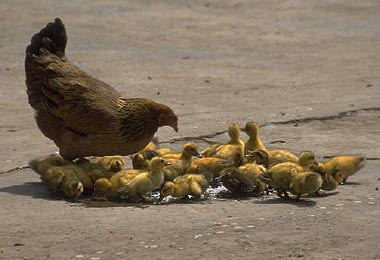 Hen_and_ducklings