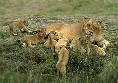 Lionness_and_cubs