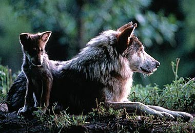 Wolf_and_cub